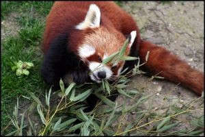 Hungry red panda by AF--Photography