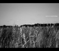field of barley by untitled55