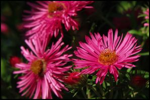 Pink Heath aster by Pildik