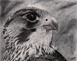 Peregrine Falcon by Chaldemone