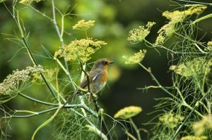 Robin in the Fennel by Aconitum-Napellus