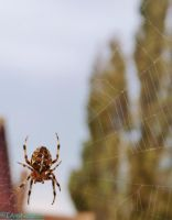 spider in a web by IamNasher
