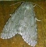 Big Moth (Closed Wings) by AncientEchidna