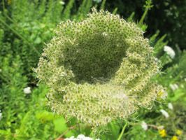 A Bowl of Queen Anne's Lace 2a by Windthin