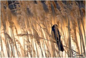 Grackle In The Reeds by ThisWomanWanders