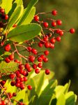 Christmas Berry by DaisyDinkle