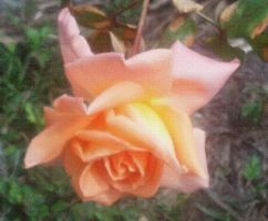 My Orange Rose by wyldflower