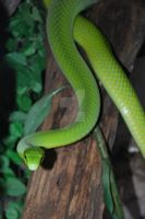 East African Green Mamba 08 by ManitouWolf