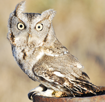 Screech Owl2 by PhotoEffects