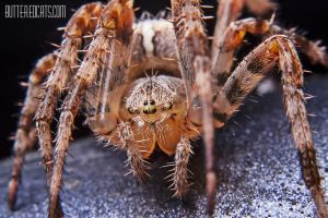 Araneae #001 by ButteredCats
