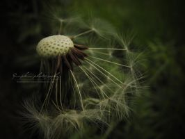 Dandelion by PumpkinPhotography