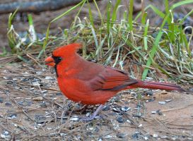 Male Cardinal 1-23-14 by Tailgun2009