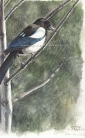 Magpie on tree by makangeni