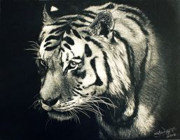 Tiger, scratchboard by nightingale5601