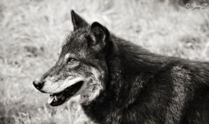 black wolf profile by Yair-Leibovich