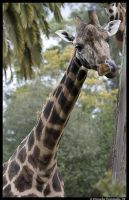 Giraffe: Nose Picker by TVD-Photography