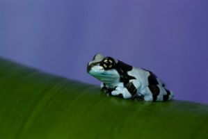 Solo Milk frog by AngiWallace