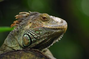 My name is Iguana Montoya by zaerundil