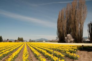 Field of Yellow Daffodils by happeningstock