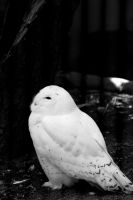 white owl by wocket71