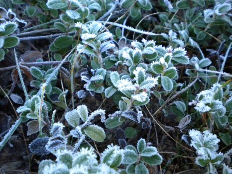 Frosty Lingonberry by Jurv