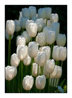 White Tulips Aglow by Frostola