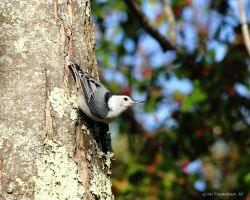 Nuthatch in the evening by natureguy