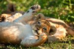 African Lion 28 by catman-suha