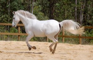 Arab canter mane up fluffy by Chunga-Stock