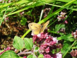 butterfly on the herbs by Reginald-Tribianni