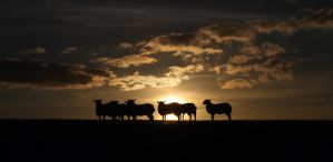 Lowgill Sheep Silhouette by CumbriaCam