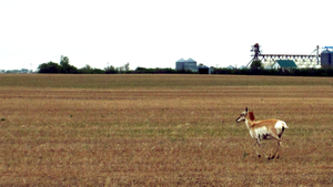 Pronghorn Antelope by Trish-the-Stalker