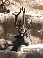 Reindeer face antlers 2 by photographyflower