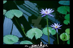 Water Lilies by kendravixie
