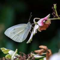 White butterfly by sylvaincollet