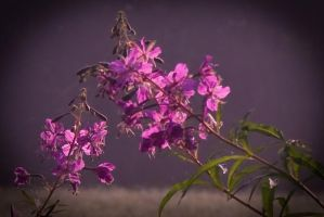 Fireweed - closeup by steppeland