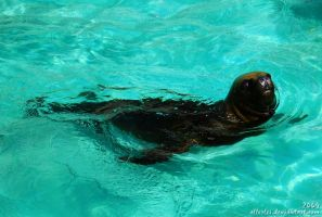 Sea lion: Mano loves swimming by Allerlei