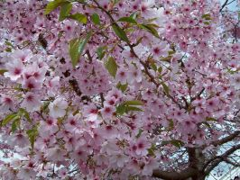 More Cherry Blossoms 1 by Applemac12