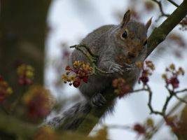 Squirrel - Spring by samboardman