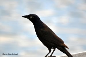 Female Common Grackle by aperfectmjk
