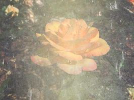 Grunge Rose Texture 03 by dknucklesstock
