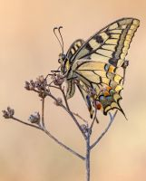 Papilio machaon II by buleria