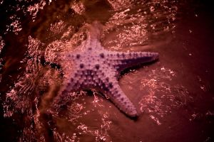 Starfish 02 by stockII