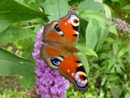 Peacock Butterfly 3 by SrTw