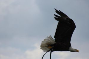 Barry the Bald Eagle by lucky128stocks