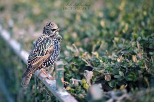 Starling - Sturnus vulgaris by Seb-Photos