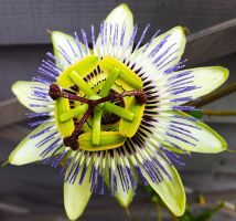 Passion Flower by markeverard
