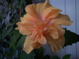 Orange Hibiscus by mitsubishiman