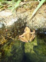 Canute the Frog by Druidstone