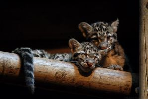 Clouded Leopard Cubs 1 by robbobert